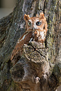 Owl Metal Prints - Red Eastern Screech Owl Metal Print by Dale Kincaid