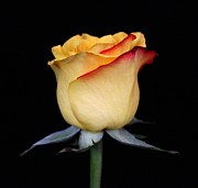Yellow Rosebud Photos - Red Edged Yellow Rosebud by Carol Welsh