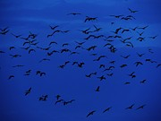 Birds In Flight At Night Metal Prints - Red Eye Flight Metal Print by Todd Sherlock