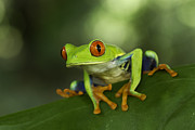 Juan Carlos Vindas - Red eye Tree Frog...