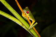 Carrie Cranwill - Red Eye Tree Frog Costa...