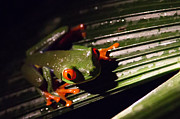 Tree Frog Art - Red-eyed Leaf Frog by Natural Focal Point Photography