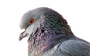 Jennifer Wheatley Wolf - Red-Eyed Pigeon