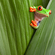Red Eye Posters - Red Eyed Tree Frog  Poster by Dirk Ercken