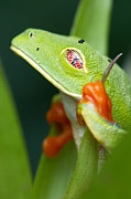 Max Waugh - Red-Eyed Tree Frog