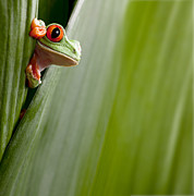 Hiding Metal Prints - Red Eyed Tree Frog Peeping Metal Print by Dirk Ercken
