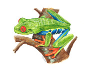 Illustration Painting Originals - Red-eyed Treefrog by Cindy Hitchcock