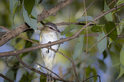Jack R Perry - Red Eyed Vireo