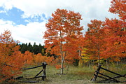 Fall Scenes Photo Originals - Red Fall Aspen by Julie Federico