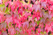 Vine Leaves Posters - Red Fall Poster by Semmick Photo
