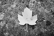 Fallen Leaf Framed Prints - red fallen canadian maple leaf lying on a rock in Vancouver BC Canada Framed Print by Joe Fox