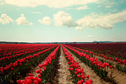 Skagit Valley Posters - Red Field Of Tulips Poster by Sylvia Cook