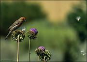 LeeAnn McLaneGoetz McLaneGoetzStudioLLCcom - Red Finch and flyaway thistle