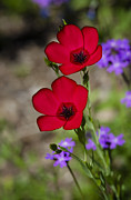 Red Flax  Print by Saija  Lehtonen
