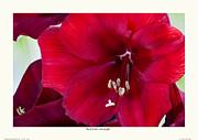 Red Florist Amaryllis Print by Saxon Holt