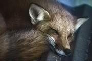 Red Fox 2 Print by Randy Matthews