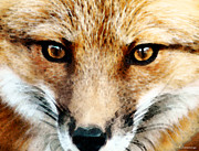 Wood Wall Hangings Prints - Red Fox Art - Foxy Eyes Print by Sharon Cummings