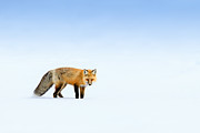 Fauna Posters - Red Fox Poster by Doug Oglesby