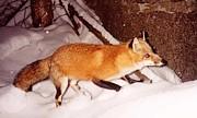 Red Fox Print by Edward Caraccioli