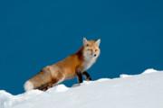 Red Fox Print by Gary Beeler
