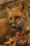 Shelley Myke Prints - Red Fox in Autumn Leaves Stalking Prey Print by Inspired Nature Photography By Shelley Myke