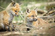 Red Fox Framed Prints - Red Fox Kits Framed Print by Everet Regal