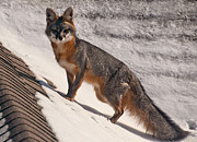 Red Roof Photo Originals - Red Fox by Mae Wertz