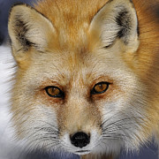 Rodney Campbell - Red Fox Portrait