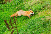 Louise Heusinkveld - Red fox running through...
