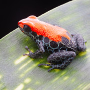 Dirk Ercken - red frog Ranitomeya...