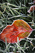 Crystals Photos - Red frosty leaf on frozen ground by Elena Elisseeva
