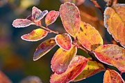 Beauty Mark Acrylic Prints - Red frosty orange leafs Acrylic Print by Tommy Hammarsten