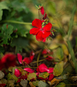 Red Geraniums Prints - Red Geranium Print by Benita Walker
