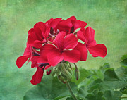 Kim Hojnacki - Red Geranium Flowers