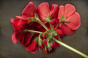Red Geranium Framed Prints - Red Geranium In Progress Framed Print by James Bo Insogna