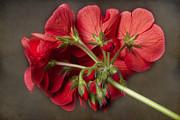 James BO  Insogna - Red Geranium In Progress