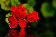 Red Geranium Posters - Red Geranium on Water Poster by Kaye Menner