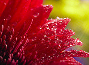 Red Gerbera Print by Boon Mee
