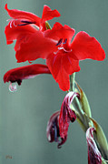 Stamen Digital Art Framed Prints - Red Gladiolus Framed Print by Ben and Raisa Gertsberg