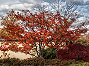 Autumn Trees Prints - Red Glory Print by Terry Rowe