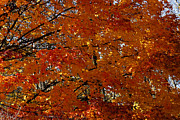 Linda Knorr Shafer - Red Gold Autumn