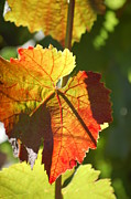 Grape Leaf Prints - Red Grape Leaf Print by Rolf McEwen