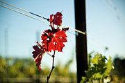 Grapevine Red Leaf Photo Posters - Red Grape Leaves Poster by Charmian Vistaunet