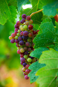 Medoc Metal Prints - Red Grapes Metal Print by Hannes Cmarits