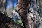 Kenneth Albin - Red Headed Woodpecker