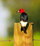 Olivia Hardwicke - Red-headed Woodpecker