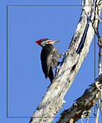Susan Leggett - Red Headed Woodpecker