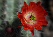 Hedgehog Cactus Prints - Red Hedgehog Flower  Print by Saija  Lehtonen