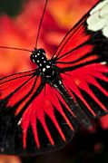 Vivid Framed Prints - Red heliconius dora butterfly Framed Print by Elena Elisseeva