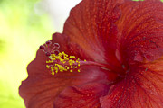 Alexander Galiano Art - Red Hibiscus Close-up by Alexander Galiano